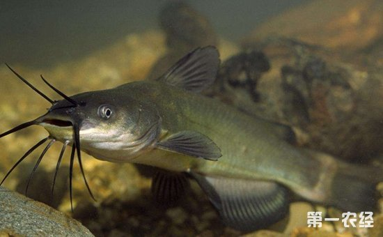 黑鱼与鲶鱼有什么不同?黑鱼和鲶鱼的区别