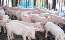 猪肺疫的流行特点是什么?怎样预防猪肺疫猪病?