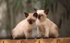 暹罗猫多少钱一只?暹罗猫的价格