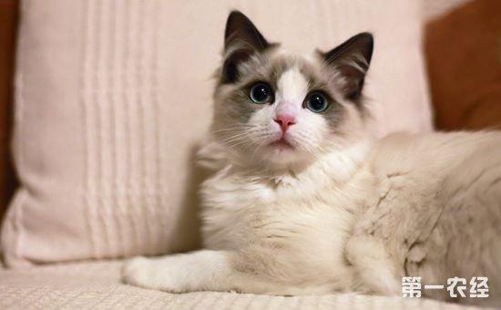 布偶猫要如何饲养?布偶猫的饲养方法