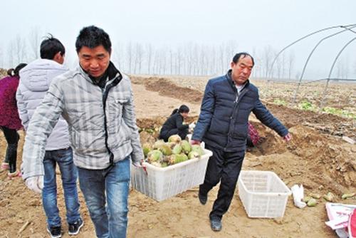 河南周口10万斤萝卜滞销 再卖不掉只能当肥料