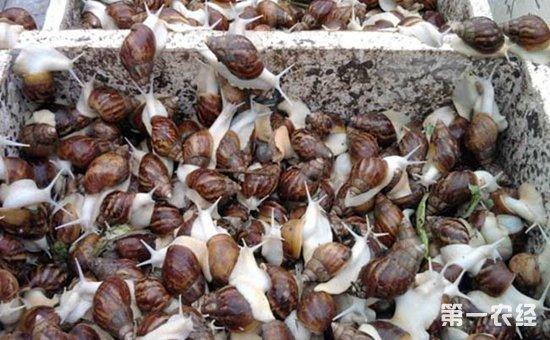 白玉蜗牛染上疾病怎么办?白玉蜗牛常见疾病的防治技术