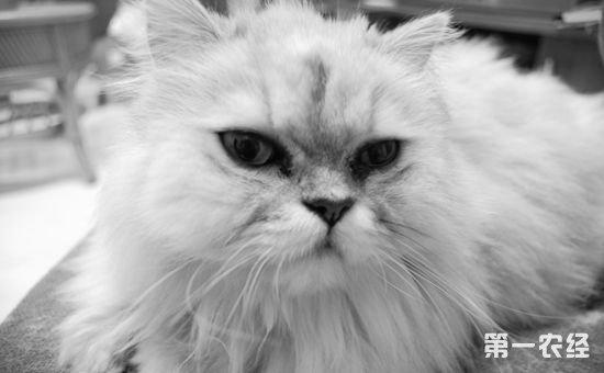 纯种的金吉拉猫2000~4000元左右一只,一些非常纯种的金吉拉猫要几万元。历史上最成功的一只金吉拉猫是Decies女士的出生于1895年的ChFulmerZaida,于6岁到10岁之间(1901~1905)连续获得了17个猫展的总冠军。现在的最高记录保持者是Crockmore女士的雪云,在1948~1955年间一共获得了18个冠军、5个后备冠军和1个第三名。