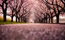 <b>日本樱花最早于3月22日绽放,在日游客可以前去观赏!</b>