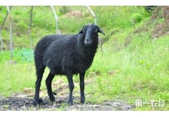 内蒙古武川县将扩繁草原乌骨羊种群
