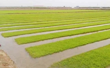 """青海""""海水稻""""试种成功 在迪拜开启首例海外项目"""