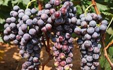 """海南:攻克种植技术难关 热带葡萄产业""""开花结果"""""""