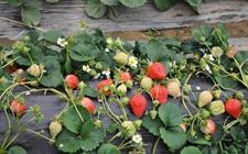 草莓怎么种植?大棚草莓的水肥一体化栽培技术