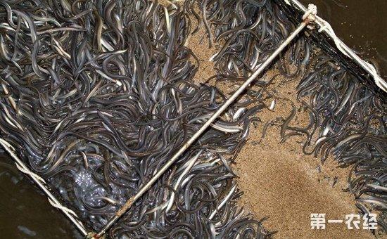 鳗鱼染上疾病怎么办?鳗鱼常见疾病的病症与防治