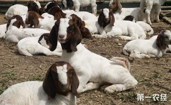 波尔山羊吃什么食物 波尔山羊养殖常见的饲料及调制方法