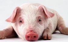 怎样科学诊断猪气喘病?如何预防猪气喘病?