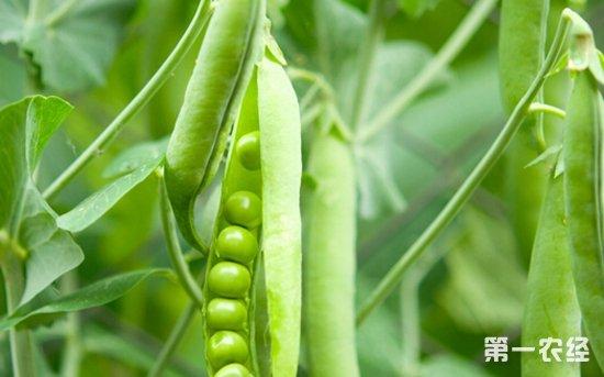 2018年1月23日全国各种豌豆产品价格