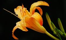 黄花菜有哪些常见病害?黄花菜早春病害防治方法