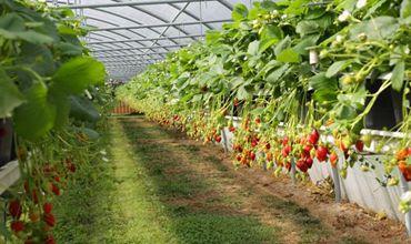 山东青岛市:智能控温控湿 草莓更加香甜可口