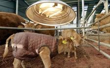 韩国气温降至零下25度 韩牛牛犊穿上保暖羽绒服