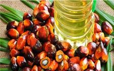马来西亚棕榈油产量下降 期货深跌中反弹