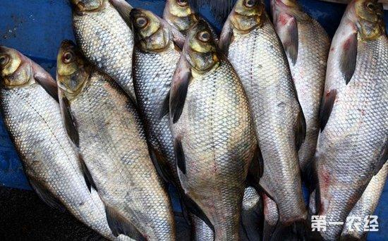 江苏淡水鱼供需偏淡价格稳中有降