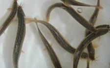 如何防治泥鳅疾病?泥鳅常见疾病的症状与防治