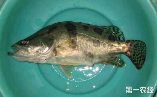 桂鱼疾病怎么治?桂鱼常见疾病的防治方法