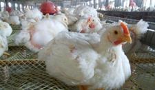 鸡苗价格回升,肉鸡价格持续上涨 价格波动空间大