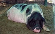 华中型猪种——大花白猪