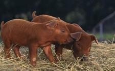 <b>红毛猪品种——杜洛克猪</b>