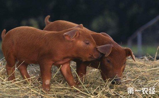 杜洛克猪品种