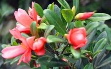 四季茶花怎么养好?四季茶花的养殖方法和注意事项