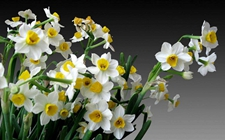 水仙花为什么不开花?水仙花怎么催花?