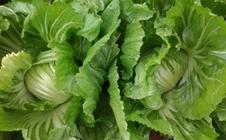 包心芥菜如何种植?包心芥菜田间管理技巧