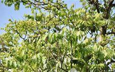 云南省发现20余株国家一级重点保护野生植物伯乐树