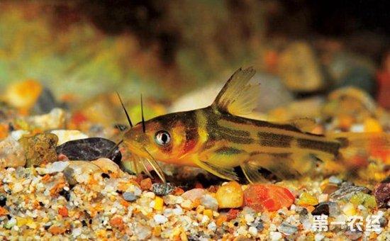 黄颡鱼疾病如何防治?7种黄颡鱼常见疾病的防治方法