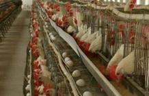 26日主要蛋鸡市场价格行情介绍和分析