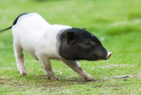 残疾小伙江家万:养殖小香猪,走上致富路