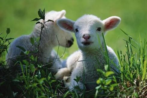 新疆哈巴河:羔羊养殖领跑牧民发家致富路