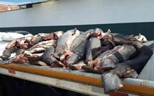墨西哥一公路旁发现300条鲨鱼尸体 据称系合法捕获