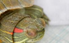 巴西龟染上白眼病怎么办?巴西龟白眼病的预防与治疗