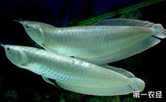 银龙鱼染上疾病怎么办?银龙鱼常见疾病的病症与防治