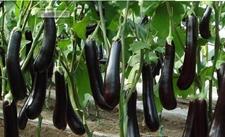 什么是南繁茄子?南繁茄子原种和杂交种制种技术