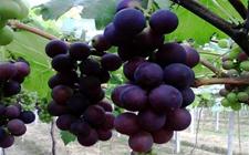 巨峰葡萄怎样才能高产?巨峰葡萄高产栽培技术