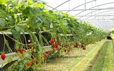 大棚草莓的种植技巧有哪些?种植草莓的要点