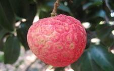 <b>荔枝的种类主要有哪些?荔枝品种图片大全</b>