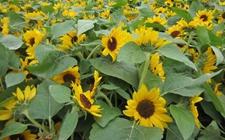 怎么种植向日葵?向日葵种植技术介绍