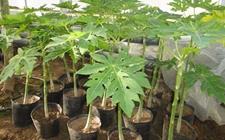 木瓜种子怎么种植?木瓜种植技术介绍