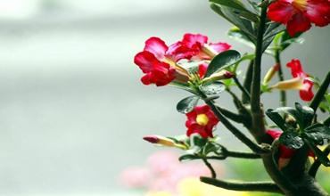 沙漠玫瑰什么时候才能开花?沙漠