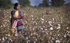 印度马哈拉施特拉邦棉花产量下调37%