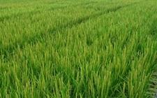 """江西新余:让水稻种质资源更""""丰富多彩"""""""