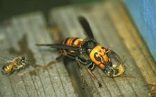 蜜蜂敌害如何防治?蜜蜂主要敌害的防治方法