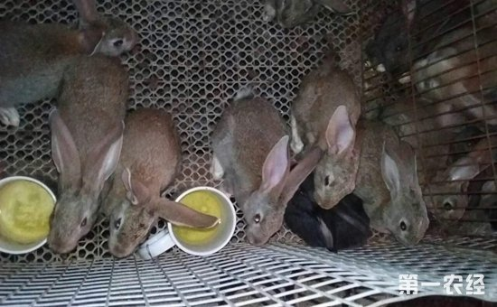 思麻兔是什么?思麻兔的养殖技术