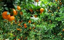 沙糖桔如何高产种植?沙糖桔的苗圃选择与播种技巧
